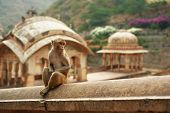 Pensive Monkey Sits In Monkey Temple. Cute Monkey At Ancient Temple Background poster