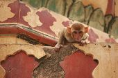 Curious Monkey In Monkey Temple. Cute Monkey Looks In Camera poster