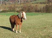 Haflinger - Small Red Horse With Light Color Mane And Tail - Standing On Green Pasture And Watching  poster