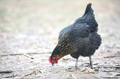 Free-range Hen