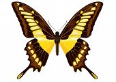 Papilio thoas (King Swallowtail) butterfly vector