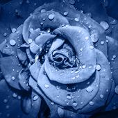 Deep Blue Rose Flower Head Close Up. Rose With Water Drops. Top View, Deep Focus. Petals Of A Rose C poster