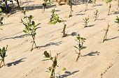 picture of afforestation  - Fresh planted trees on a reforestation project - JPG