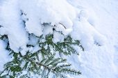 Snow Covered Spruce Tree Branch. Close-up Photo Of Fir-tree Branch With Snow poster