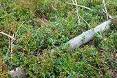 Arándanos de arbusto con frutos maduros en el bosque