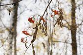 Dry Ash Berry