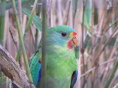 stock photo of king parrot  - fig parrot  - JPG