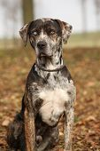 foto of catahoula  - Beautiful Louisiana Catahoula dog sitting in Autumn - JPG