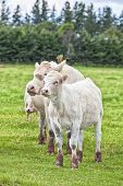 Young Charolais calves and cow grazing in a field and surrounded by thousands of flies. Charolais ar