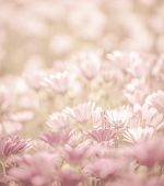 Pink abstract floral background, daisy flowers, soft focus, spring nature, blooming meadow, shallow