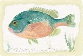 image of bluegill  - Sunfish on retro style background - JPG