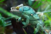 foto of chameleon  - Green chameleon on the green grass - JPG