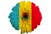 Gerbera Daisy Flower In Colors National Flag Of Moldova   On White Background As Concept And Symbol