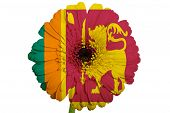 Gerbera Daisy Flower In Colors National Flag Of Srilanka   On White Background As Concept And Symbol