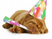 birthday pupp - dogue de bordeaux puppy blowing on horn and wearing birthday hat isolated on white background