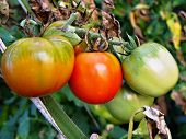 Ripening Tomatoes On A Branch