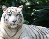 image of white-tiger  - A white tiger on a lazy afternoon