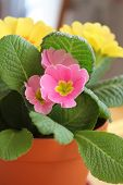 picture of primrose  - Pink and yellow primrose flowers in the pot - JPG