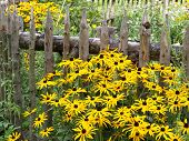 Orange Coneflower Near Wooden Fence