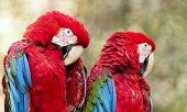 stock photo of green-winged macaw  - The green-winged macaw known also as the red-and-green macaw