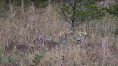 Three White-tailed Bucks In The Smoky Mountains