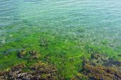 algae in limpid sea