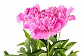 Beautiful peonies isolated on white