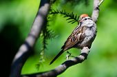 Chipping Sparrow Pereched In A Tree