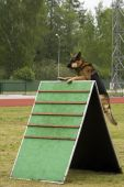 German Shepherd Jumping In A Training.