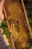 Beekeeper Showing Honeycomb Frame