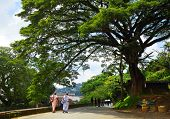 Big tree on the street in the city of Kandy, Sri Lanka