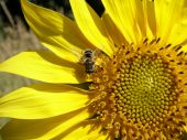foto of libido  - bee collecting pollen from sunflower grew up in the city