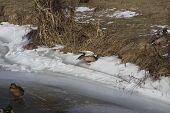 Mallard Duck,  Hens