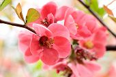 Beautiful Pink Cherry Blossom (sakura) Flower At Full Bloom. Soft Focus