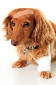 Dachshund dog wearing a bandage and band-aid.