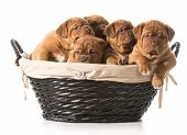 stock photo of dogue de bordeaux  - litter of puppies in a basket  - JPG