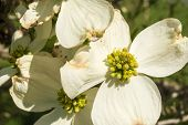 Flowering Dogwood on the Blue Ridge Parkway