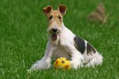 Wired Fox Terrier And Ball