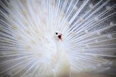 stock photo of female peacock  - white male indian peacock with beautiful fan tail plumage feather showing for breeding to female and loudness single open mouth - JPG
