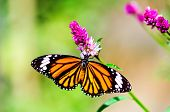 picture of flying-insect  - beautiful tropical butterfly flying in summer garden - JPG