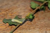foto of moth larva  - this is the caterpillar of the samia cynthia walkeri - JPG