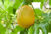pic of anti-cancer  - gac friut asia fruit good nutrition for anti cancer - JPG