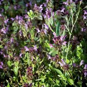 Dead Nettle (lamium Purpureum) In Late Afternoon Light