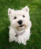 image of cute animal face  - a cute westie  - JPG