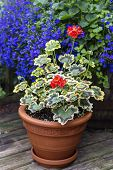 Variegated leaf geranium growing in a clay pot on a home patio.