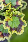Close up of a a leaf of a variegated leaf geranium growing in a clay pot on a home patio.