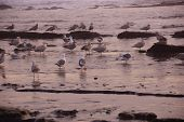 Seagulls Foraging On The Beach