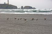 Seagulls On Beach With Yaquina Head Lighthouse