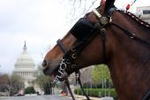 Capitol Clydesdale