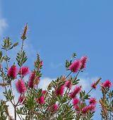 Purple Bottlebrush Plant On Blue Sky Background